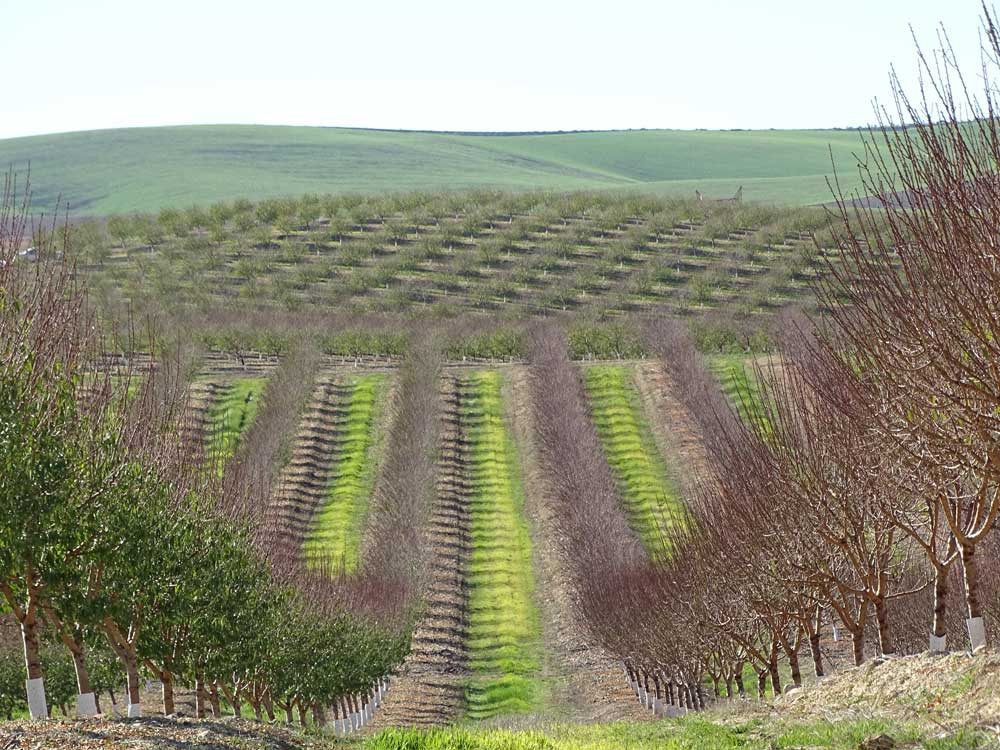 Asesoramiento sobre plantaciones de almendro