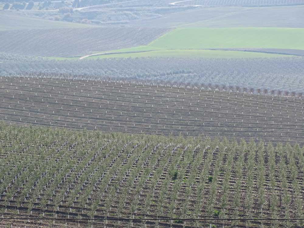 asesoramiento fitosanitarios para el olivo