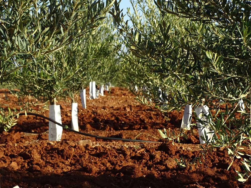 Control de plagas del olivo