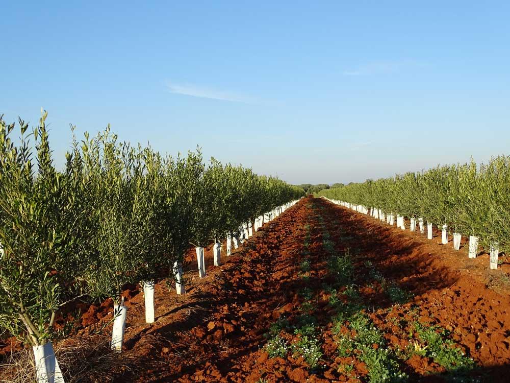 Tratamiento de enfermedades del olivo