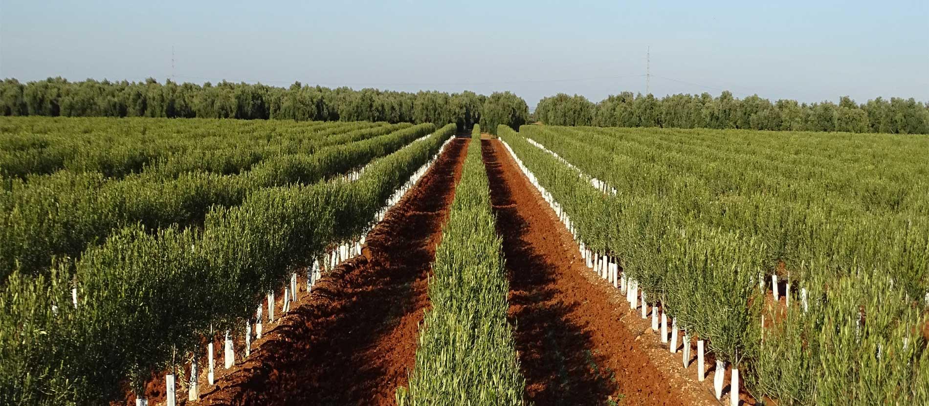 Asesoramiento para plantaciones de olivos