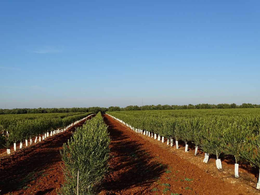 Asesoramiento en la plantación de olivos